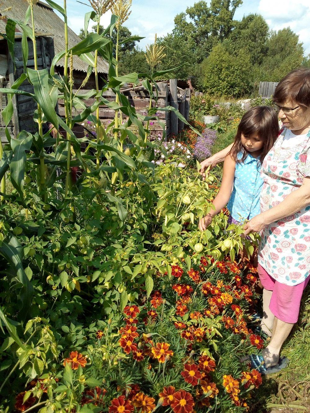 Участник № 11. Зинаида Секлецова, Осинский район: «В конкурсе участвуем третий год подряд. К, сожалению, этот год не богат на овощи, даже арбузы в теплице и те - не выросли. Единственное, чему погода не помешала, так это - кукурузе, рядом с ней – физалис».