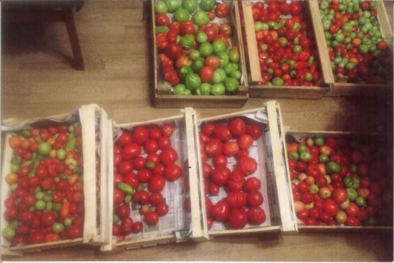 Участник № 22. Мария Якимова, Полазна: «Собрали 130 кг томатов».