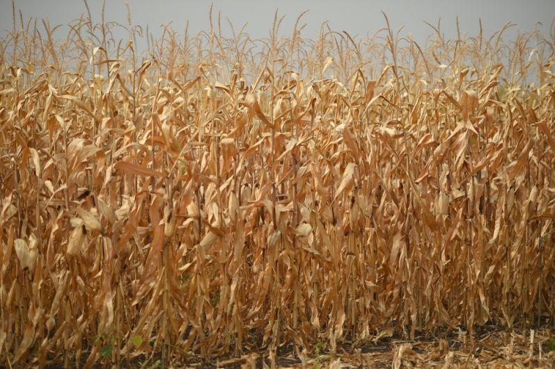 Премьер РФ ознакомился с ходом уборки кукурузы на пашне сельскохозяйственной артели «Радуга».