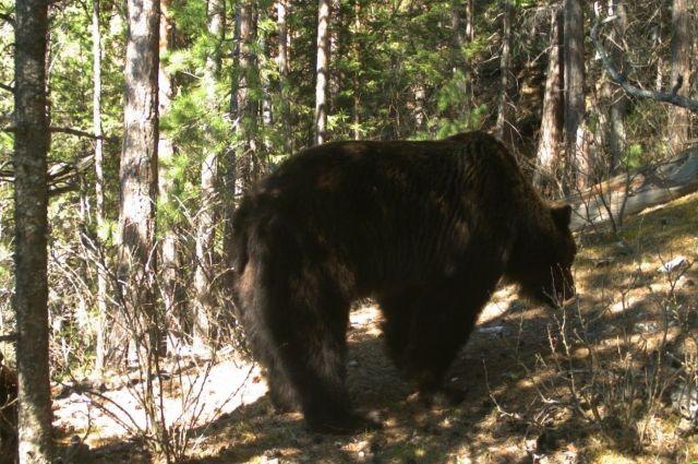 Полицейские убили зашедшего водвор частного дома агрессивного медведя вКрасноярском крае