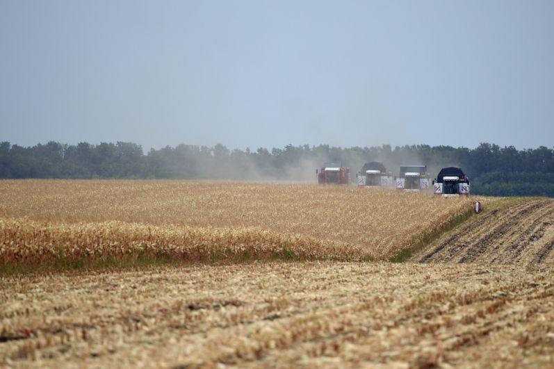 Из 900 гектаров посевов кукурузы убрано 300 гектаров.