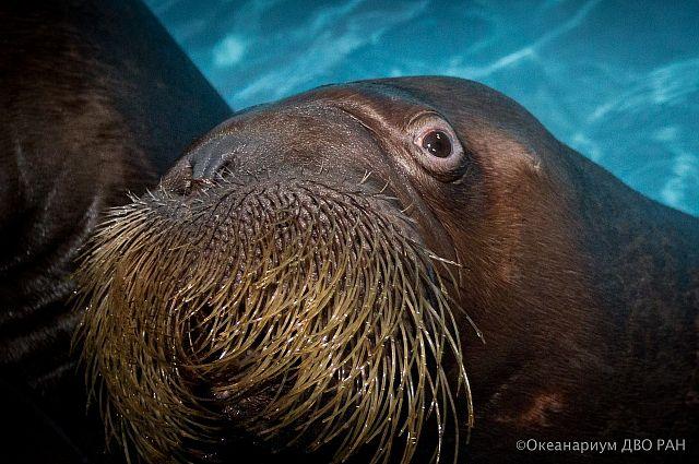 Тренера Приморского океанариума уволят за применение силы к моржу