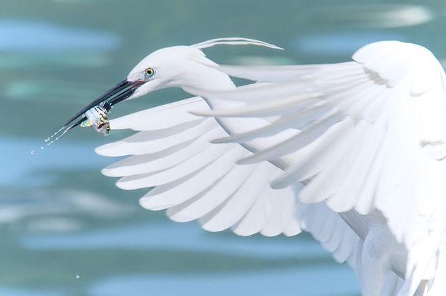 Большая белая цапля пополнит список краснокнижных животных Республики Алтай.