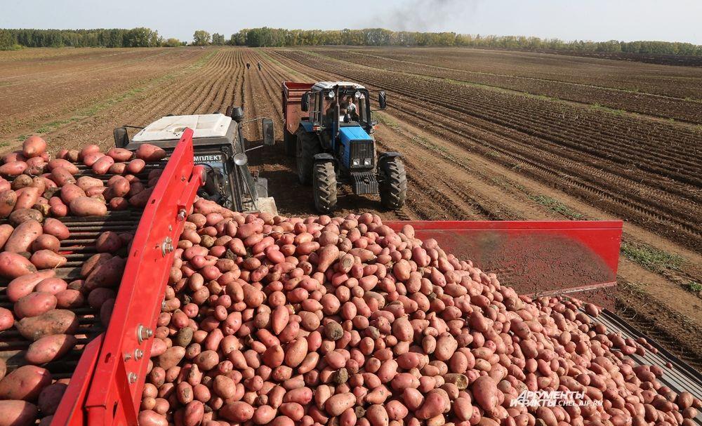 Страда картофельная