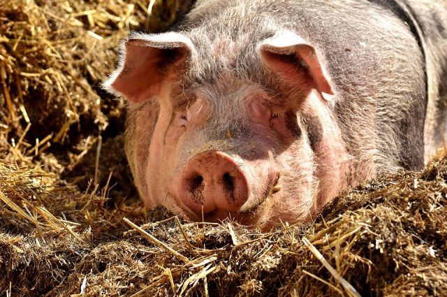 В Омске торговали неучтённой свининой.