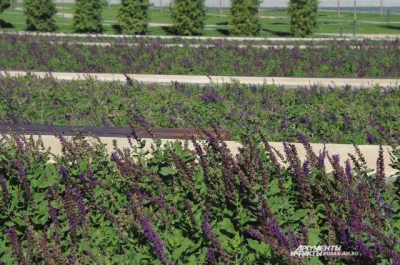 Сейчас на территории парка цветет преимущественно сальвия.