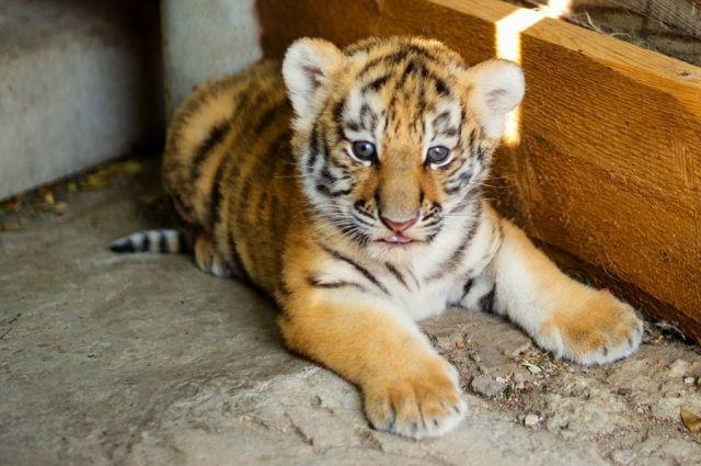 Гостям ростовского зоопарка показали двухмесячного тигренка