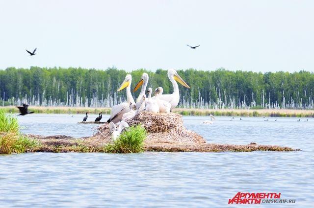 В Омской области живут «краснокнижные» пеликаны.