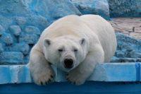 Гордость красноярского зоопарка - белые, или как их ещё называют - полярные медведи.