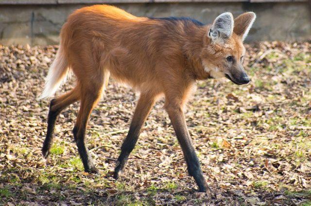 Посетители зоопарка в столице смогут увидеть редкую гривастую волчицу