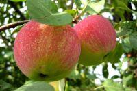 Всего на земле 27 видов диких яблонь