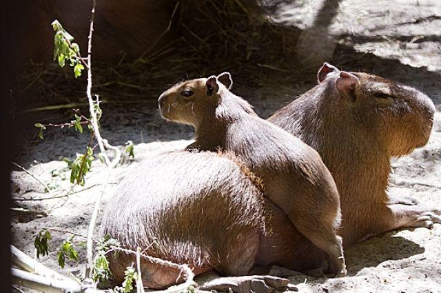 ВЛенинградском зоопарке появились капибара ичерный макак
