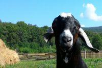 Так выглядит козёл Хан