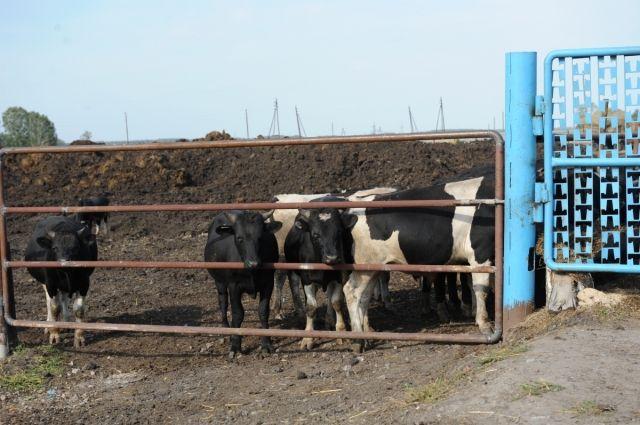 Вирус покосил неменее ста коров вБашкирии— Ящур атакует