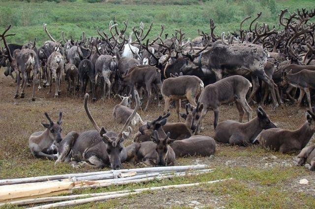 На Ямале продолжается вакцинация оленей от сибирской язвы