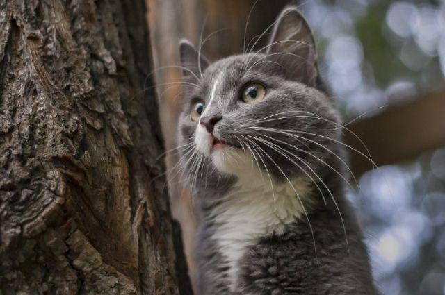 Пермский Барсик борется зазвание основного  кота страны