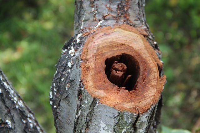 Почему разрушилась сердцевина ствола у сливы?