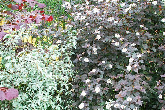 Декоративнолистные. Как выбирать кустарники с цветной листвой?