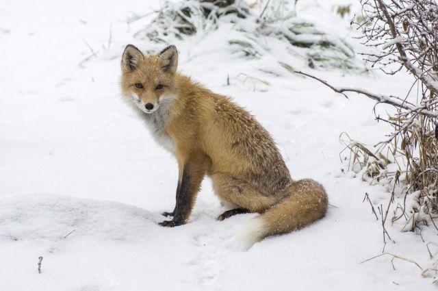 Доверчивая лиса привыкла к людям.