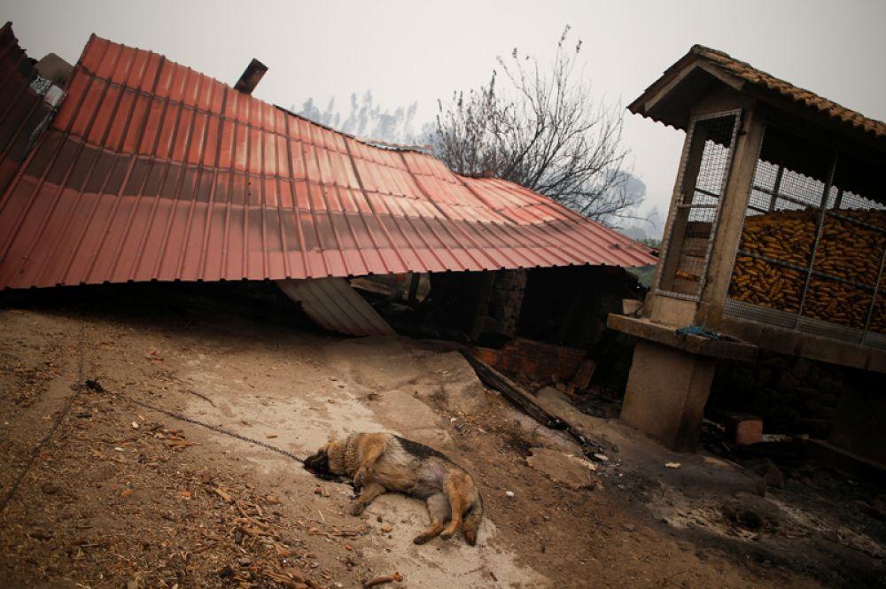 Сгоревший дом и погибшая собака после пожара в Вила-Нова недалеко от Воузелы, Португалия.