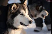 Заезды на собачьих упряжках «Стрела Ульгеня-2016»
