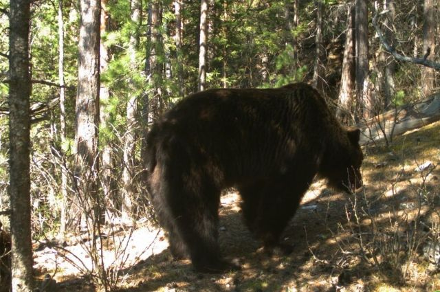 Под Красноярском застрелят 3-х медведей