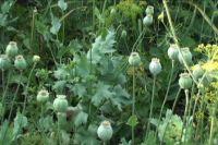 Зпрещённые растения женщина посадила рядом с овощами на грядках.
