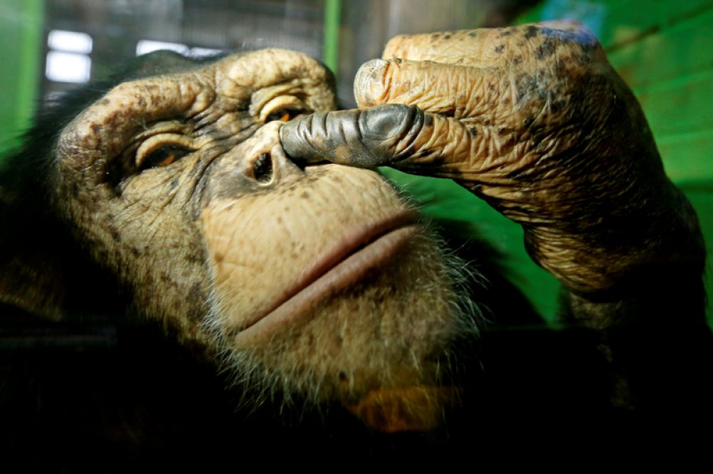 18 октября. Анфиса, двенадцатилетняя самка шимпанзе, в зоопарке Роев Ручей в пригороде Красноярска, Россия.