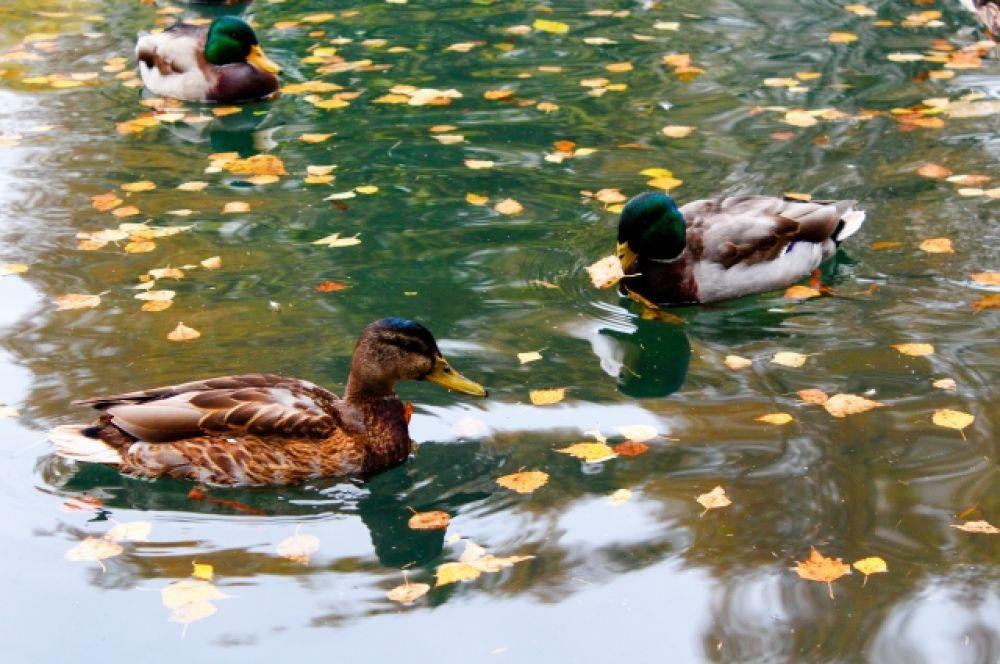 На территории парка можно найти пруд, в котором плавают забавные утки.
