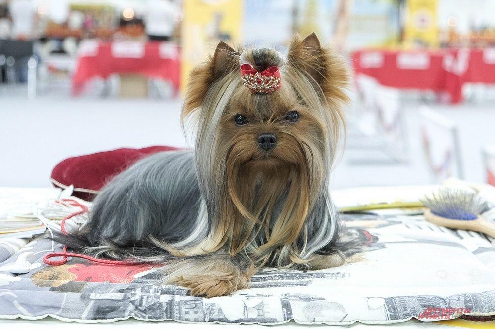 Завить чёлку или сделать модную стрижку можно в парикмахерской для собак.