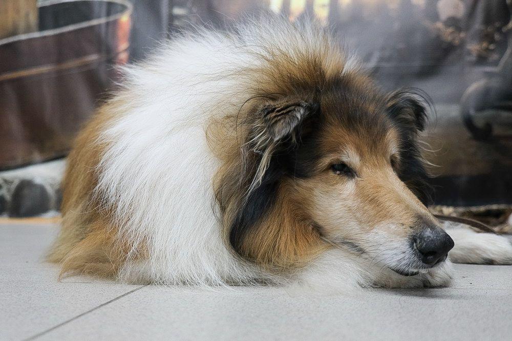 На выставке представлены около 100 как популярных, так и редких пород собак.