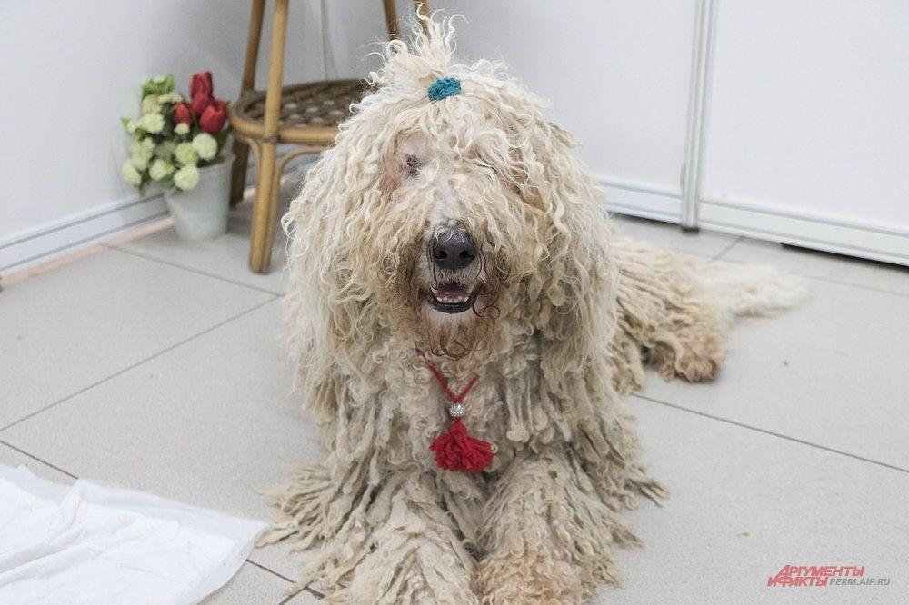 Венгерская собака командор отличается высоким интеллектом и сильным характером.
