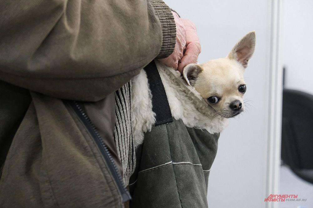 Маленькие собачки выглядывали из карманов и сумок хозяев.
