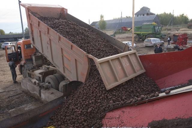 В Тюменской области собрали рекордный урожай картофеля, также рассчитывают на хороший сбор капусты.