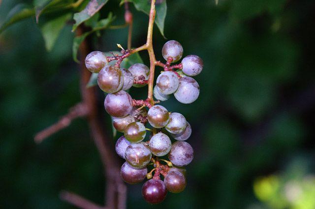 Надо ли обрезать виноград осенью?