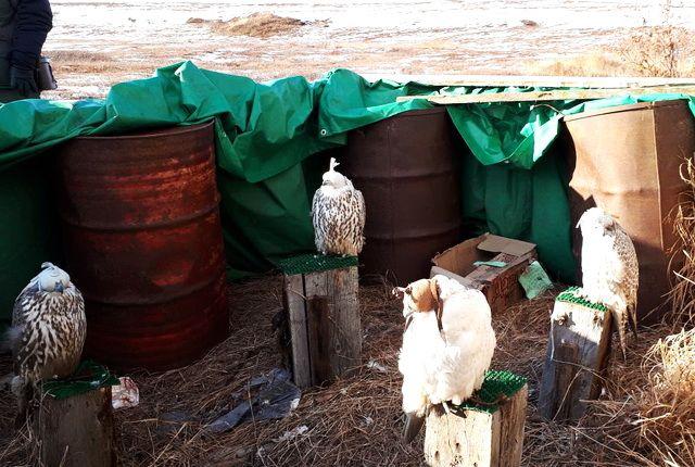 НаКамчатке группа браконьеров наловила кречетов на4,4 млн руб.