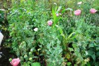 На участке у женщины обнаружили более 200 растений мака.