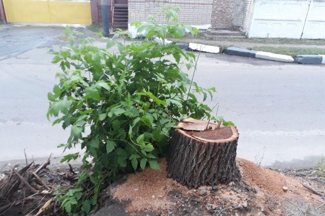 12 деревьев стоимостью 200 тыс. руб. нелегально вырубили вВоронеже