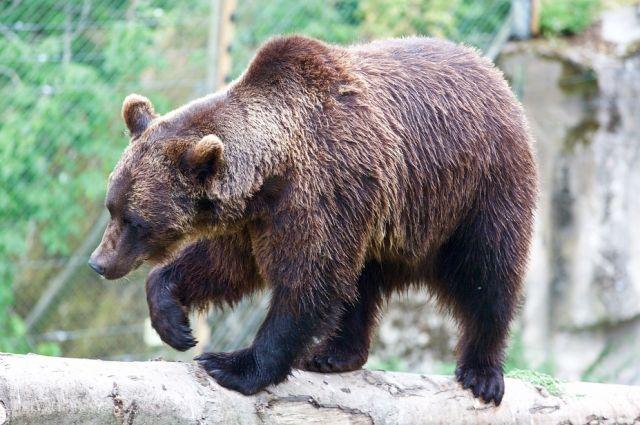 5 тысяч особей - оптимальное число медведей в Приангарье.