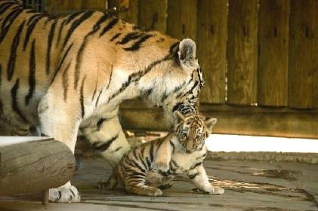 ВРостове посоветовали три варианта имени для тигренка Примы иУстина