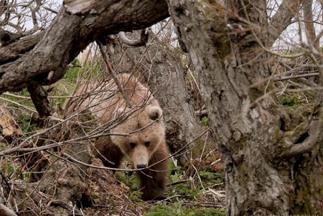ВПетропавловске-Камчатском убили вышедшего излеса медведя