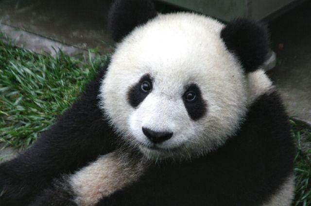 Старинный предок панды найден вевропейских странах
