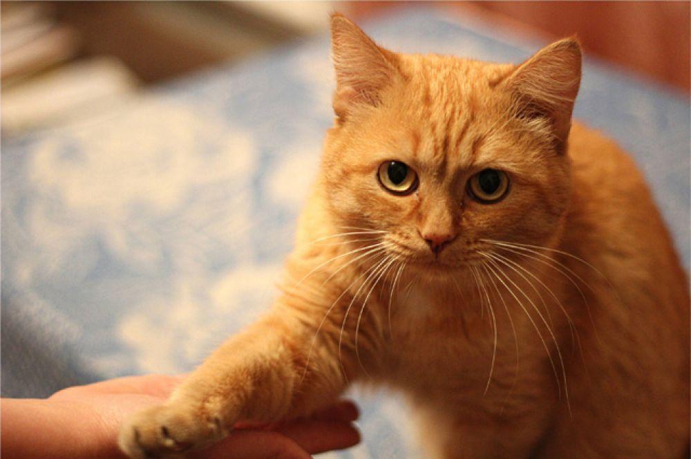 Персик. Персик умный и очень ласковый кот. Он знает несколько команд: «дай 5», «дай лапку», «пока-пока». Персик любопытный и общительный, он считает себя полноправным членом семьи.