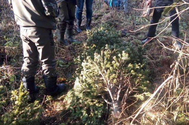 Задержание «черных лесорубов» на Алтае