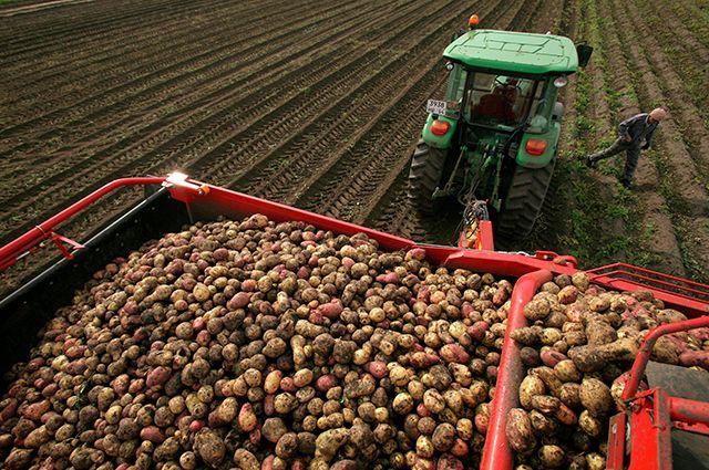 Вырастить картошку— ещё полдела, сохранить её— порой задача непосильная.