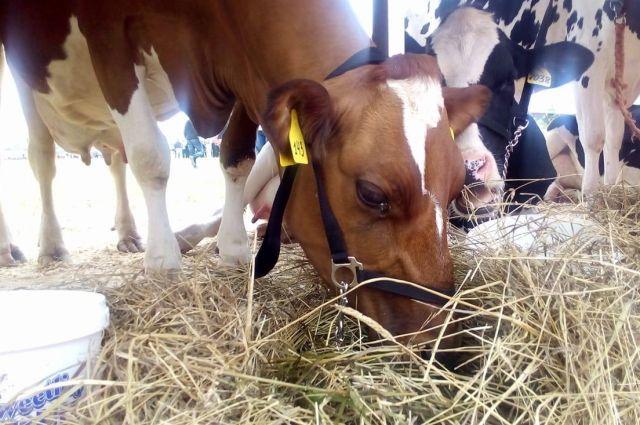 В Тюменской области сотруднику фермы грозит 5 лет: он украл корову