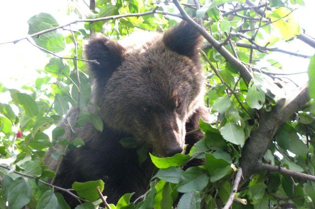 Впределах города Ханты-Мансийска мужчина увидел медвежонка
