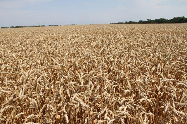 В Омске собрали рекордный урожай зерна.