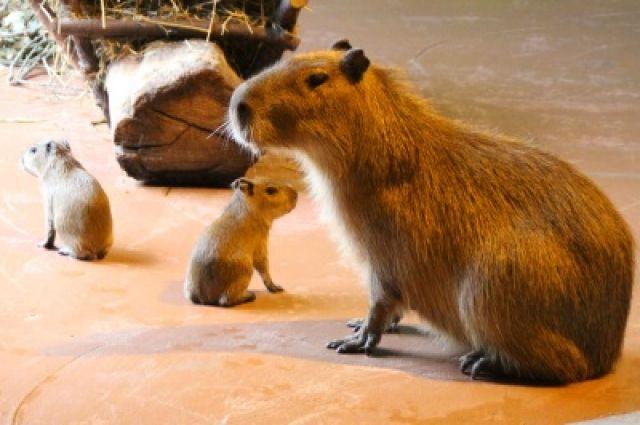 Капибары - самый крупный среди современных грызунов.