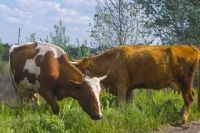 Хозяйство Константина Кулишова единственное в регионе, где занимаются выращиванием казахской белоголовой породы.